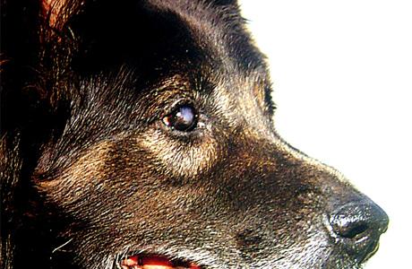 cambio de color de ojos de los perros