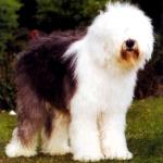 bobtail antiguo perro pastor ingles