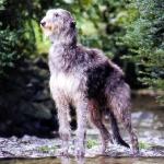 Lebrel Ecoces ( Deerhound )