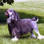 Pequeno Perro Leon