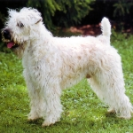 Soft Coated WheatenTerrier