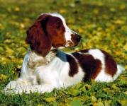 Springer Spaniel Gales