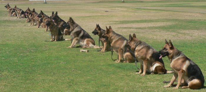 12 perros pastor aleman en medio de un entrenamiento