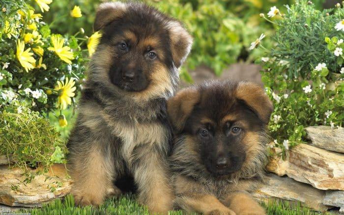 2 cachorros pastor aleman de pocas semanas de vida