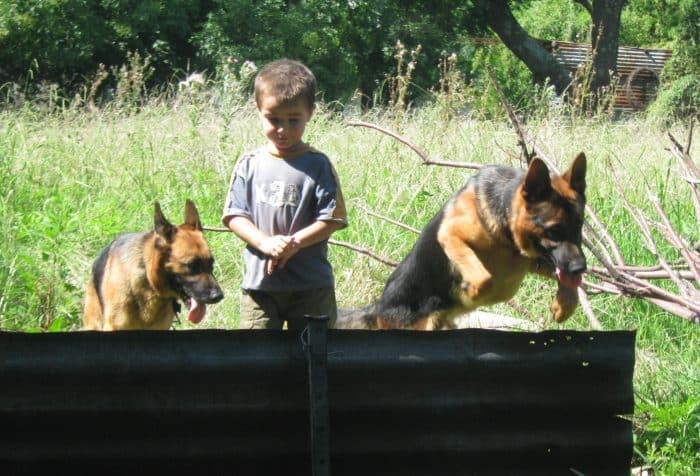 2 pastores alemanes jugando con un niño