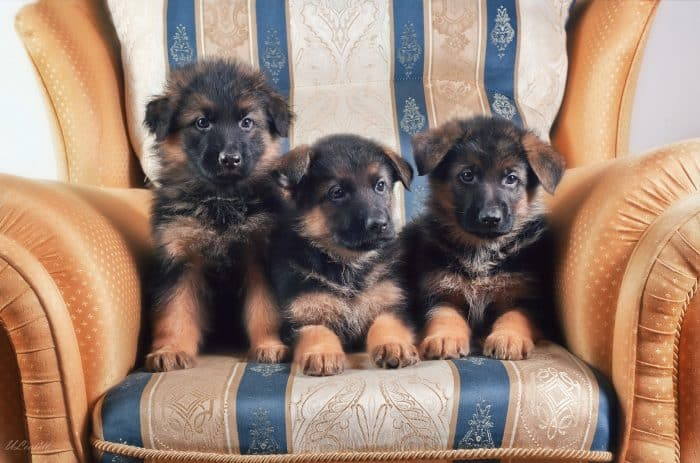 3 cachorros pastor aleman