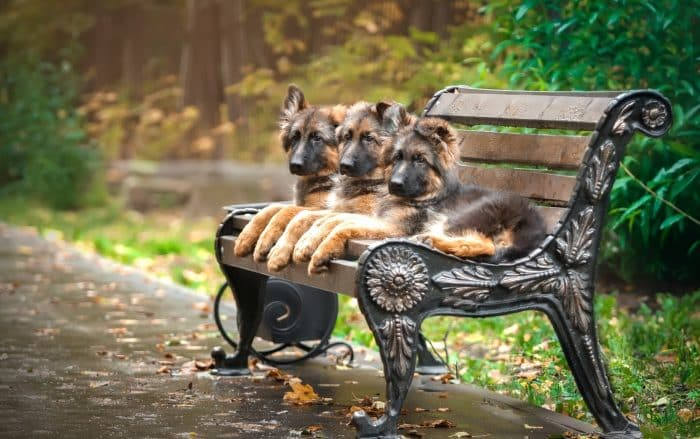 3 pastores alemanes de mediana edad sentados sobre una banca