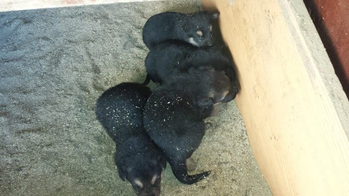 4 cachorros pastor aleman recien nacidos