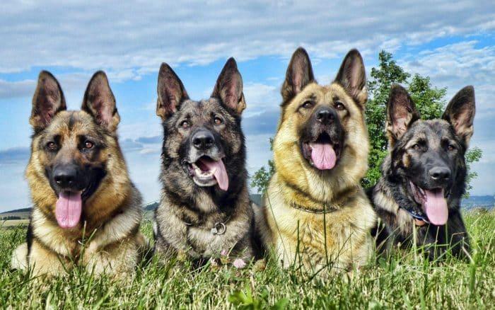 4 pastores alemanes sentados