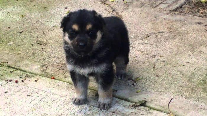 cachorro pastor aleman