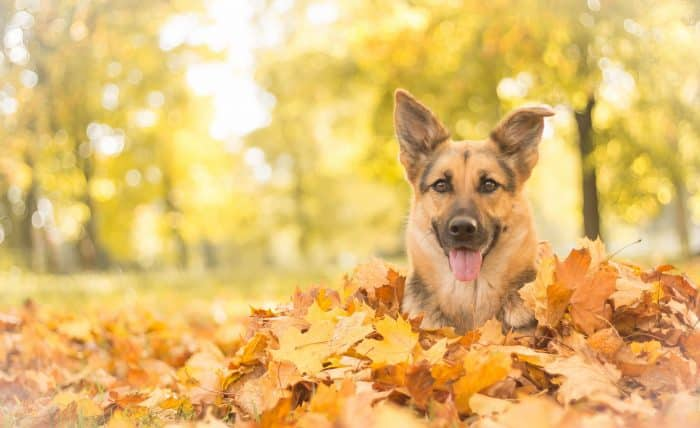 pastor alemán acostado entre hojas en otoño