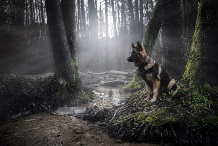 pastor alemán al borde de una vertiente de agua en medio del bosque