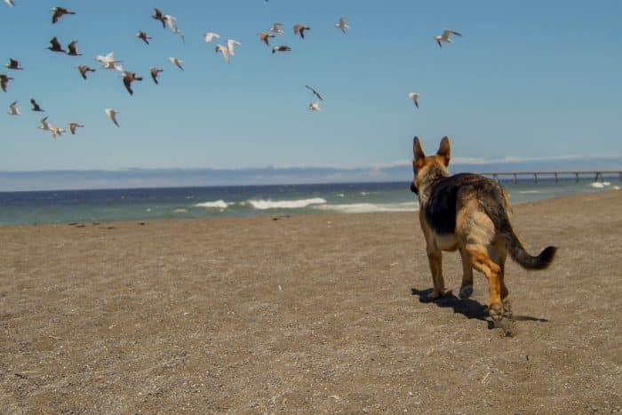 pastor alemán alejándose en la playa
