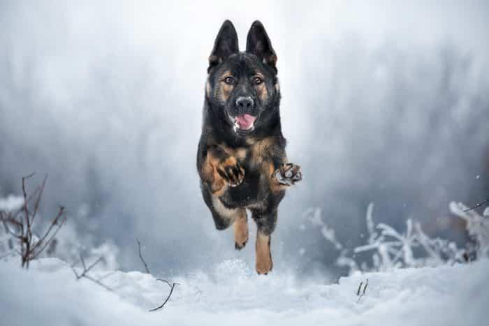 pastor alemán corriendo en la nieve