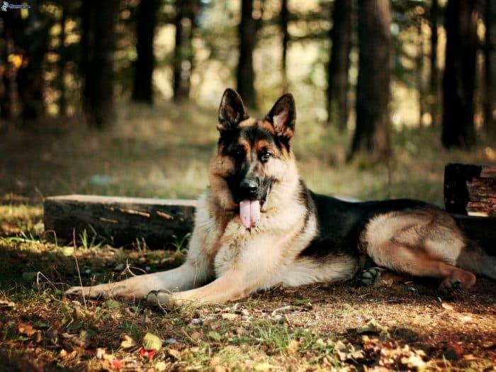 pastor alemán descansando en el bosque