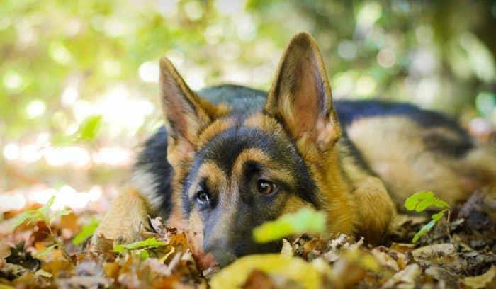pastor alemán descansando sobre hojas en otoño
