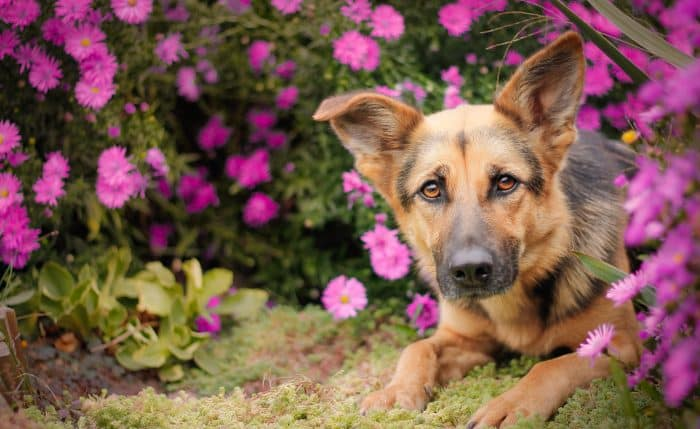 pastor aleman escondido entre flores