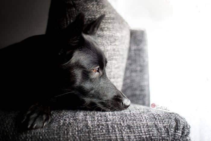pastor aleman negro descansando sobre un sofá
