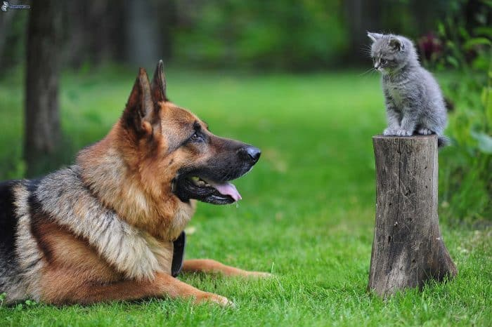 pastor alemán observando a un gatito