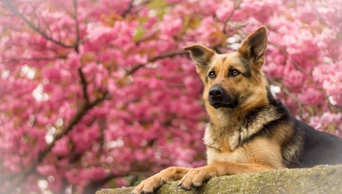 retrato rosa de un pastor alemán