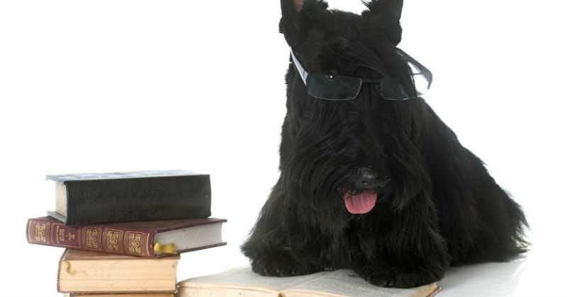 10 consejos para comprar un scottish terrier
