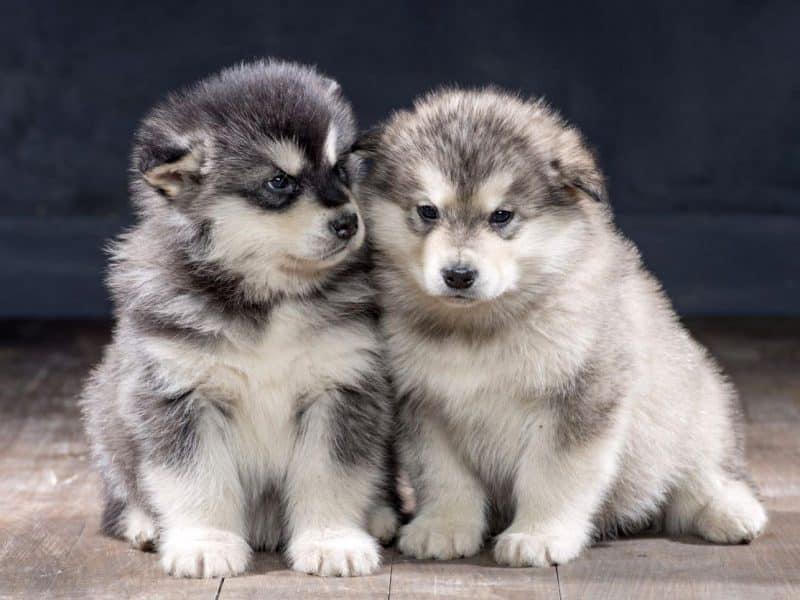 2 cachorros alaskan malamute juntos