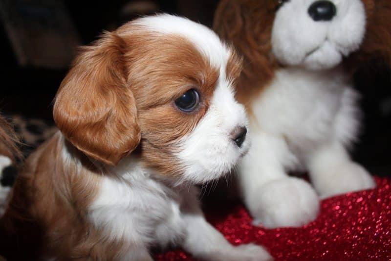 2 cachorros cavalier king charles spaniel que parecen peluches