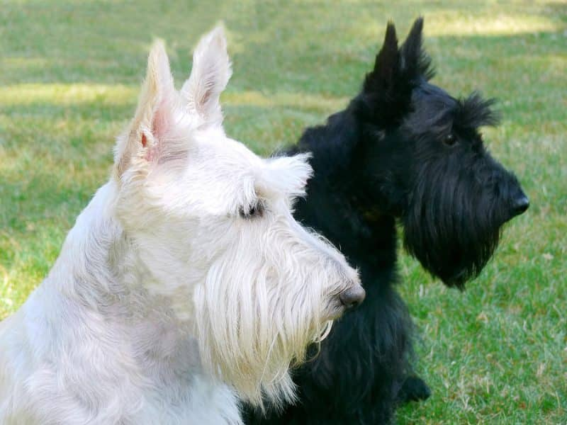 2 terrier escoces blanco negro