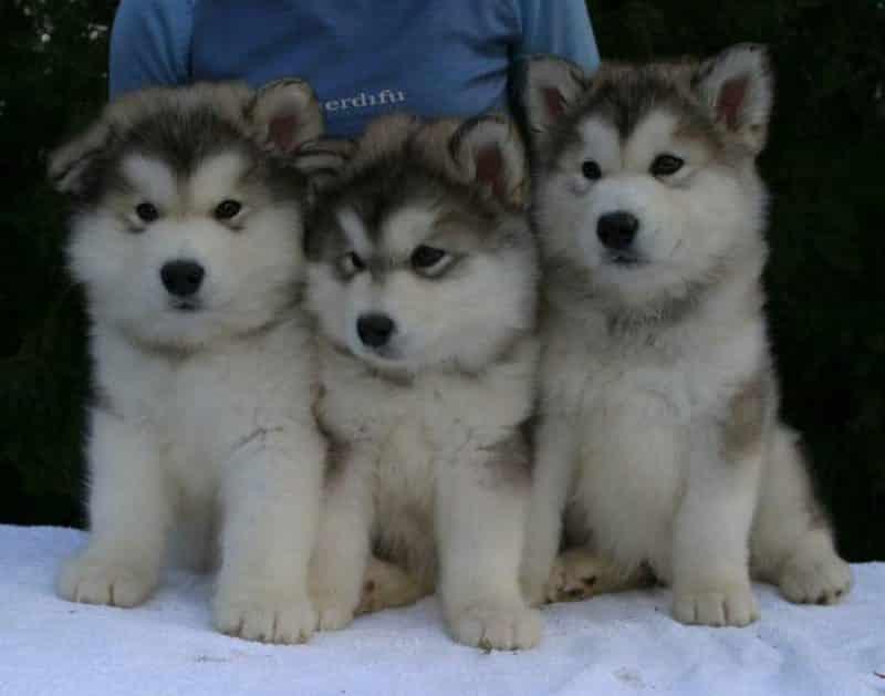 3 hermosos cachorros alaskan malamute
