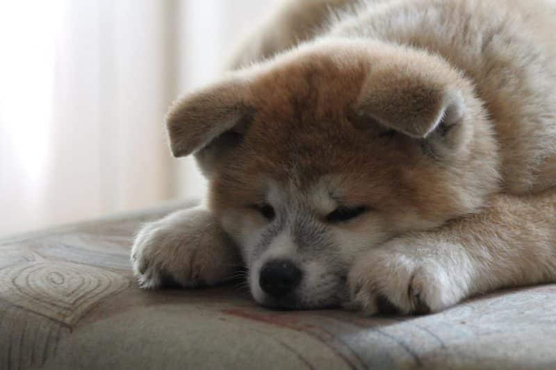 Akita Inu descansando sobre un sofá