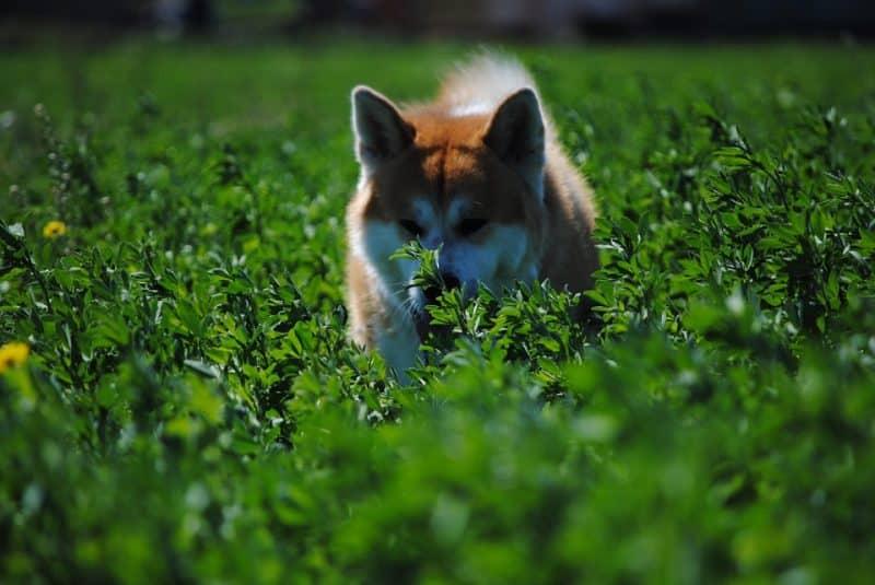 Akita Inu disfrutando un paseo en medio de la hierba