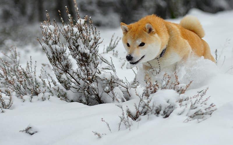 Akita Inu jugando en la nieve