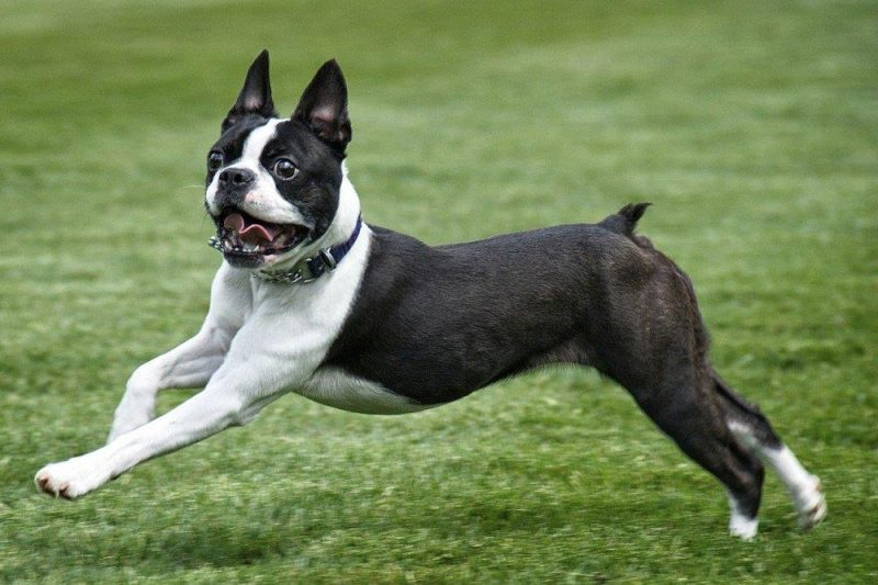 Boston Terrier corriendo sobre césped