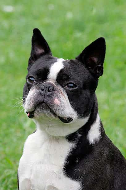 boston terrier observando la inmensidad