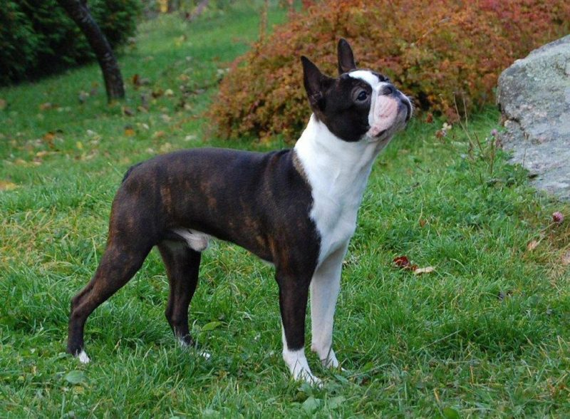 Boston Terrier parado sobre césped