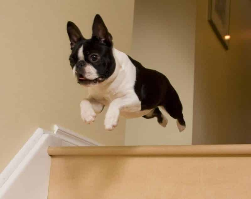 Boston Terrier saltando desde una escalera