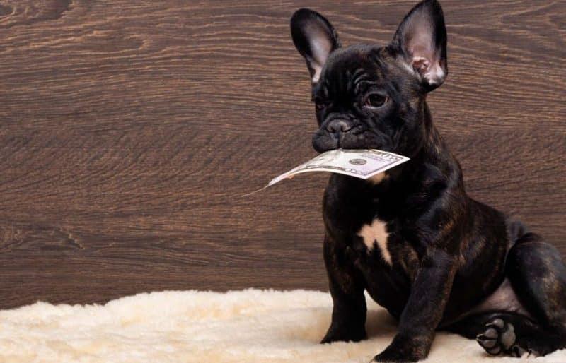 Bulldog Frances con un dólar en el hocico