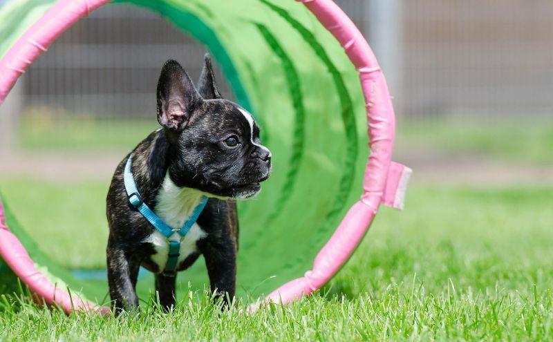 Bulldog Frances jugando en un túnel