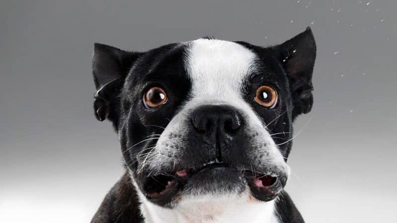Bulldog Frances muy parecido a un boston terrier