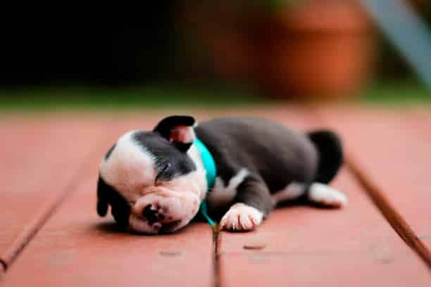 cachorro boston terrier durmiendo