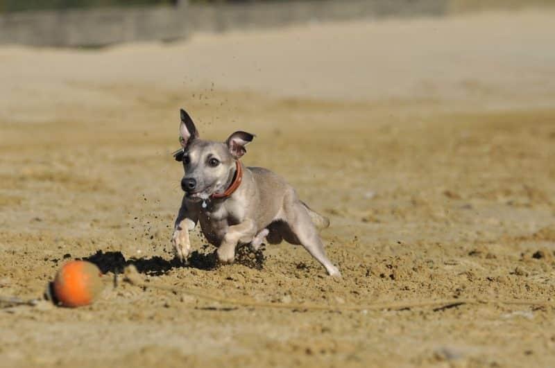 cachorro del pequeño lebrel italiano jugando