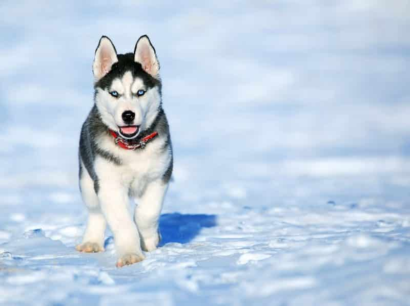 cachorro Husky Siberiano caminando sobre nieve