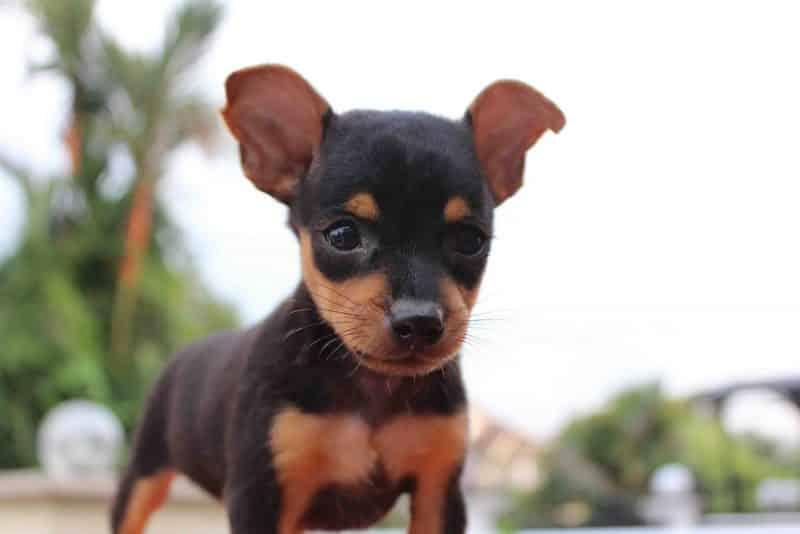 cachorro pinscher miniatura en un jardin