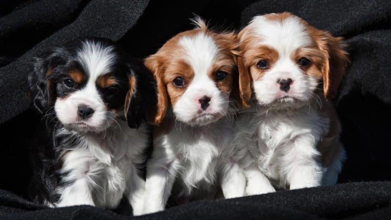 cachorros del cavalier king charles spaniel