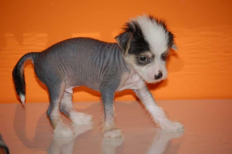 cachorros del perro crestado chino