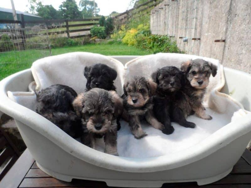 cachorros del schnauzer miniatura