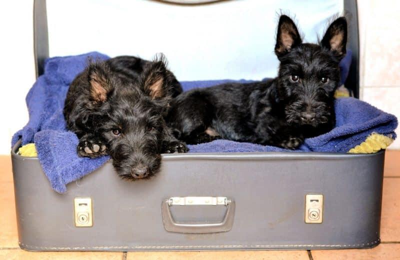 cachorros del scottish terrier