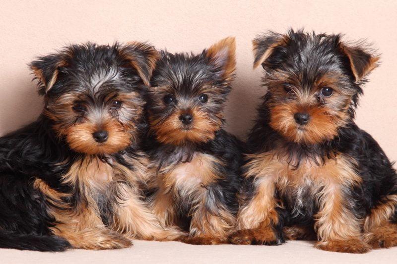 cachorros del yorkshire terrier