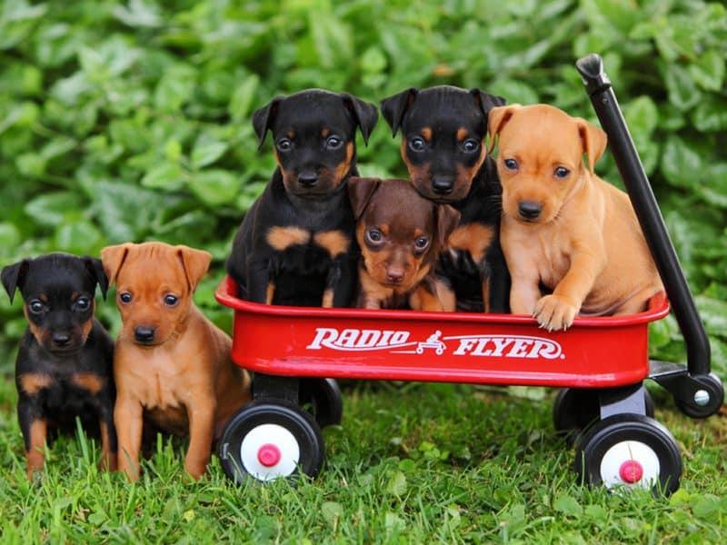 cachorros pinscher miniatura sobre carrito
