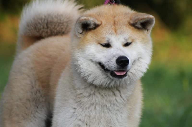 características del Akita inu